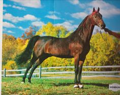 American Saddlebred stallion Bryndale Denmark was raised in Michigan and sired by Oman's Desdemona Denmark.