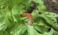 Cómo evitar de forma natural que las babosas o caracoles deboren las plantas de nuestro jardín y cómo eliminarlas sin productos nocivos para la salud