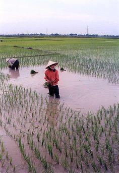 Rice planting near Hanoi, Vietnam, 2000 | par iancowe
