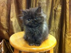 Flat Face Persian Kitten Cat - Bicolor Black White - Cheras