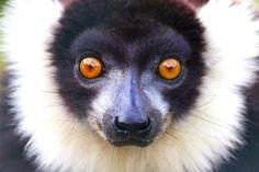 Vari  black-and-white ruffed lemur // Zwart-wit gestreepje lemuur