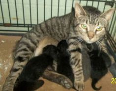 Tabby Mom and 5 kittens surrendered today, Wed. May 1st, 2013  (ID# 21473). Columbus County Animal Control at Whiteville, NC.
