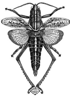 drawings of insects | Joe MacGown's Insect Drawings and Paintings Gallery 3