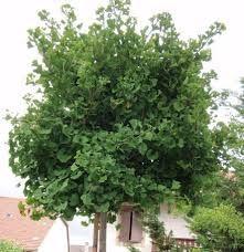 Résultats de recherche d'images pour «ginkobiloba arbre» Herbs, Plants, Images, Search, Herb, Plant, Planets, Medicinal Plants