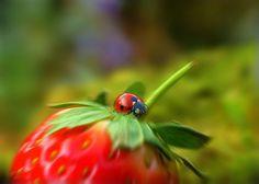 Ladybird & Strawberry | Flickr - Photo Sharing!