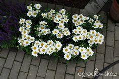 Ogród mały, ale pojemny;) - strona 39 - Forum ogrodnicze - Ogrodowisko
