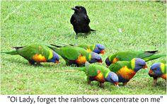 Rainbow lorikeets and one cheeky black bird Rainbow, Bird, Funny, Photos, Animals, Black, Rain Bow, Rainbows, Pictures