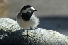 Sädesärla ungfågel