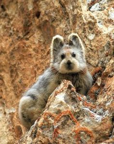 Ili Pika, an unbelievably cute mammal with a teddy bear face, from China..