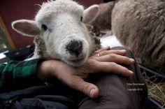 Lamb, Animals, Animales, Animaux, Animal, Animais, Baby Sheep