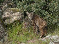 Proshots - Spanish Lynx, Sierra de Andujar Natural Park, Andalusia, Spain - Professional Photos