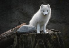 what a cute baby wolf! Animals And Pets, Baby Animals, Funny Animals, Cute Animals, Most Beautiful Animals, Beautiful Creatures, Fox Pictures, Arctic Fox, Arctic Tundra