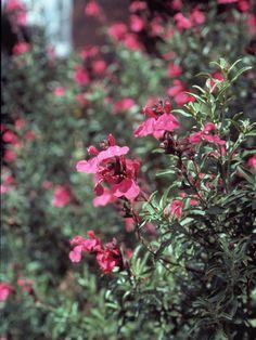 Salvia greggii (Autumn sage) | Image Gallery #24437