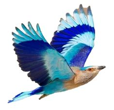 SriCity Nature Society - Logo - Indian Roller