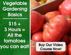 Growing peas in your garden is one of the easiest things you can do in your garden. This post will tell you every thing you need to know about growing peas. Everbearing Strawberries, Grape Vine Trellis, Growing Peas, Growing Veggies, Raspberry Plants, Grape Arbor, Bird Netting, How To Store Potatoes, Ideas