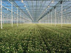Chrysanthemum nursery