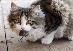 """""""Los gatos son unas de las mascotas más populares del ser humano y a las vez de las más incomprendidas. Se les asocia con mitos, leyendas y supersticiones y se dan por supuestas muchas características que no siempre son ciertas."""" El gato salvaje"""