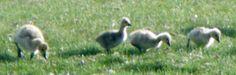 Montana Canadian goslings