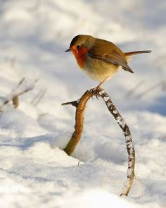 British robin, Erithacus rubecula (Old World flycatcher family) in the snow… Pretty Birds, Love Birds, Beautiful Birds, Animals Beautiful, Cute Animals, Small Birds, Little Birds, Winter Szenen, Kinds Of Birds