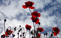 Red poppies in the hills of Malaga reaching for the sun in sping