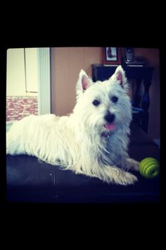 My Westie with his favorite ball!