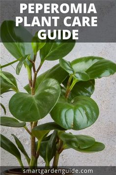 Peperomia are wonderful plants to grow indoors as they have so many features that make them ideal houseplants. They have an amazing variety of beautiful foliage and tolerate a wide range of growing conditions. Read all about peperomia plant care at smartg Easy House Plants, House Plants Decor, Garden Plants, Snake Plant Care, Peperomia Plant, Growing Plants Indoors, Growing Vegetables, Low Light Plants, Smart Garden