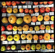 """Telopea Mountain Nursery and www.PeteThePermie.com (permaculturalist) with the most extraordinary array of apple varieties - """"a few pictured here"""" was at Gladysdale Apple, Food & Wine Fair."""