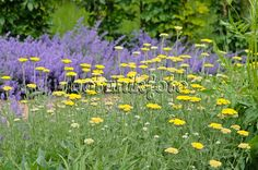 Image Common yarrow (Achillea millefolium 'Sammetriese') - 438242 - Images and videos of plants and gardens Achillea Millefolium, Gardens, Videos, Plants, Image, Outdoor Gardens, Plant, Garden, House Gardens