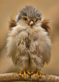 This Baby Falcon has a very texture fluffy and smooth texture, it is as if you could simply reach out and touch it. The feathers look very soft and warm. The artist implies that the bird would be fun to pet.