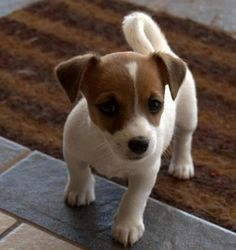 Jack Russell Puppies Cute Little Jack Russell Terrier Puppy - Just Look at that Cute Little Tail Perros Jack Russell, Chien Jack Russel, Jack Russell Puppies, Jack Russell Terrier, Mini Jack Russell, Small Puppies, Cute Puppies, Cute Dogs, Dogs And Puppies