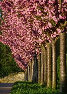 Juda's trees Never heard of these. Lawn And Landscape, Garden Landscape Design, Trees And Shrubs, Flowering Trees, Blooming Trees, Outdoor Plants, Outdoor Gardens, Outdoor Life, Judas Tree