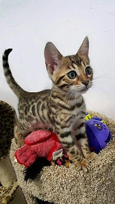 Bengal Kittens Is that a Bengal? Cute Cats And Kittens, I Love Cats, Crazy Cats, Cool Cats, Kittens Cutest, Ragdoll Kittens, Tabby Cats, Funny Kittens, White Kittens