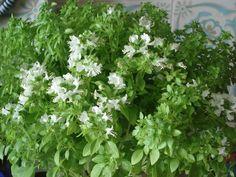 ocinum minimun - O manjerico é da mesma família e género do manjericão e, apesar de terem aspectos ligeiramente diferentes, a verdade é que as suas aplicações são idênticas. -