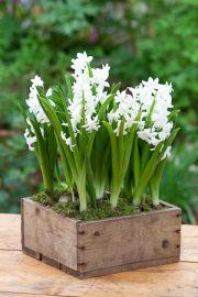 Hyacinth 'L'Innocence'