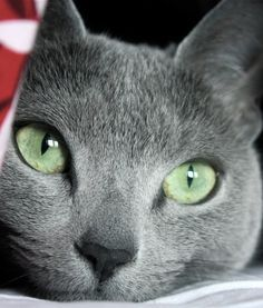 Russian Blue Cat - would love to have one of these.