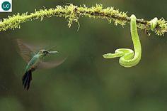 https://www.facebook.com/WonderBirdSpecies/ Green-crowned brilliant (Heliodoxa jacula); From Costa Rica to western Ecuador; IUCN Red List of Threatened Species 3.1 : Least Concern (LC)(Loài ít quan tâm) || Chim ruồi Brilliant mão lục; Từ Costa Rica đến phía tây của Ecuador; HỌ CHIM RUỒI - TROCHILIDAE (Hummingbirds).