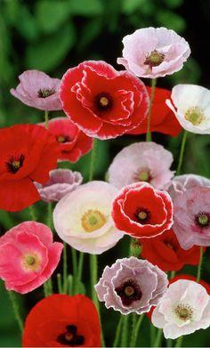 ~~Iceland poppy mix • Papaver nudicaule • Arctic poppy • Yellow arctic poppy Papaver croceum | 99Roots.com~~
