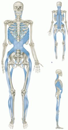 """""""One may question whether a muscle is even a useful division to the body's own kinesiology."""" – Anatomy Trains We are continuing our education on the anatomical planes. Fascia, is a type of connecti… Muscle Anatomy, Body Anatomy, Human Anatomy, Wellness Massage, Spiral Line, Sports Therapy, Massage Techniques, Anatomy And Physiology, Qigong"""
