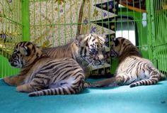 Sumatran tiger cubs that were born last month, sit in a cage before being shown to the public for the first time at Medan Zoo in Medan, North Sumatra, Indonesia, Wednesday, Nov. 14, 2012.  (AP Photo/Binsar Bakkara)