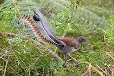 El ave-lira soberbia (Menura novaehollandiae) es una especie de ave paseriforme de la familia Menuridae. Es grande, de hasta un metro de longitud, con plumaje marrón y gris, alas redondeadas, y patas largas y fuertes. Es uno de los pájaros cantores más grandes (después del cuervo de pico grueso y el cuervo común), sus plumas miden 55 cm.