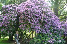 Olbrzymi rododendron