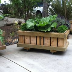 Rhubarb and Strawberries- Rolling Planter: SanctuSpheres rolling raised bed flower / vegetable planter boxes are mobilized on heavy casters, wheels,  that can moved to track the sun or relocated with ease on almost any surface.  Plants can even be rolled indoors to protect them from freezing.  $244.00