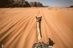Cmel safari Wadi rum Jordan