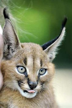 Caracal Lynx - Beautiful baby, love when they stick their tongues out like that. X)