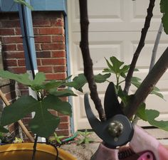 Figs belong to the genus Ficus, which is a common group of houseplants. Good potted fig tree care must include knowledge on how to prune fig trees in containers. This article will help.