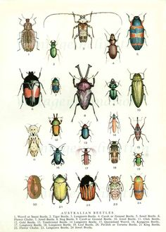 Beetles 1954 vintage print Australian beetles 24 colorful varieties.  via Etsy.