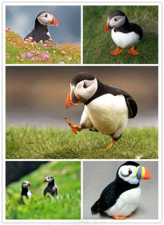 Puffin from Iceland