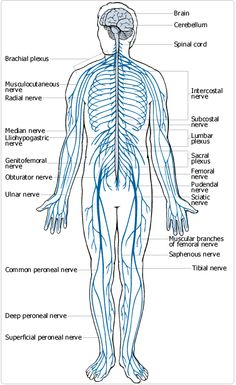 nervous-system | The Human Body | Pinterest | Nervous system and ...