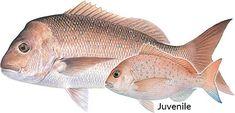 Image result for pink snapper Fish, Pets, Animals, Image, Animals And Pets, Animais, Animales, Animaux, Pisces