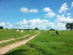 Hermosa tarde de invierno en los Llanos Venezolanos #Llanos Estado #Guárico #Hato Masaguaral #Venezuela